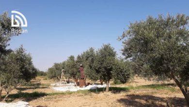 صور رائعة من مشتل الزيتون في قرية أبو قبيع بريف الطبقة