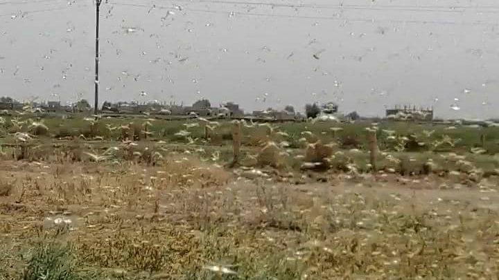 مديرية الزراعة في هجين شرق دير الزور تحذر من ازدياد أسراب الجراد